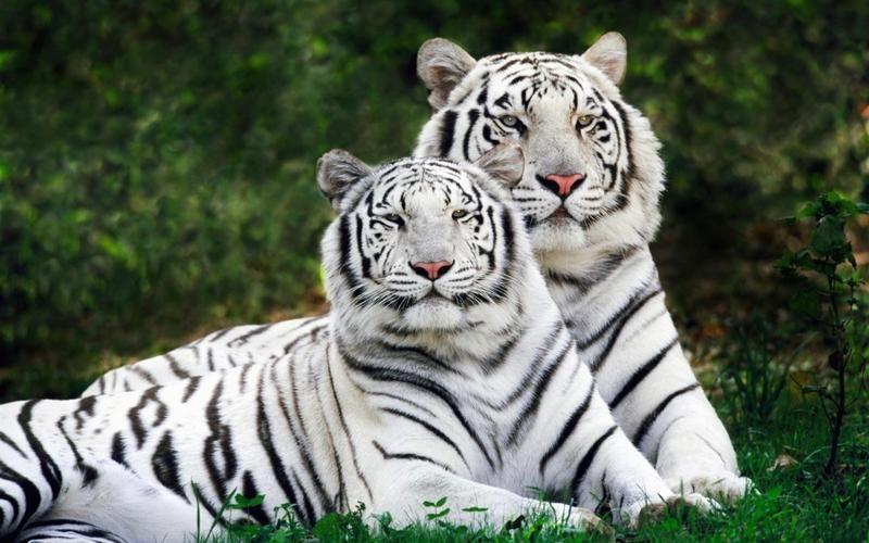 картинки на рабочий стол тигры № 512085 бесплатно